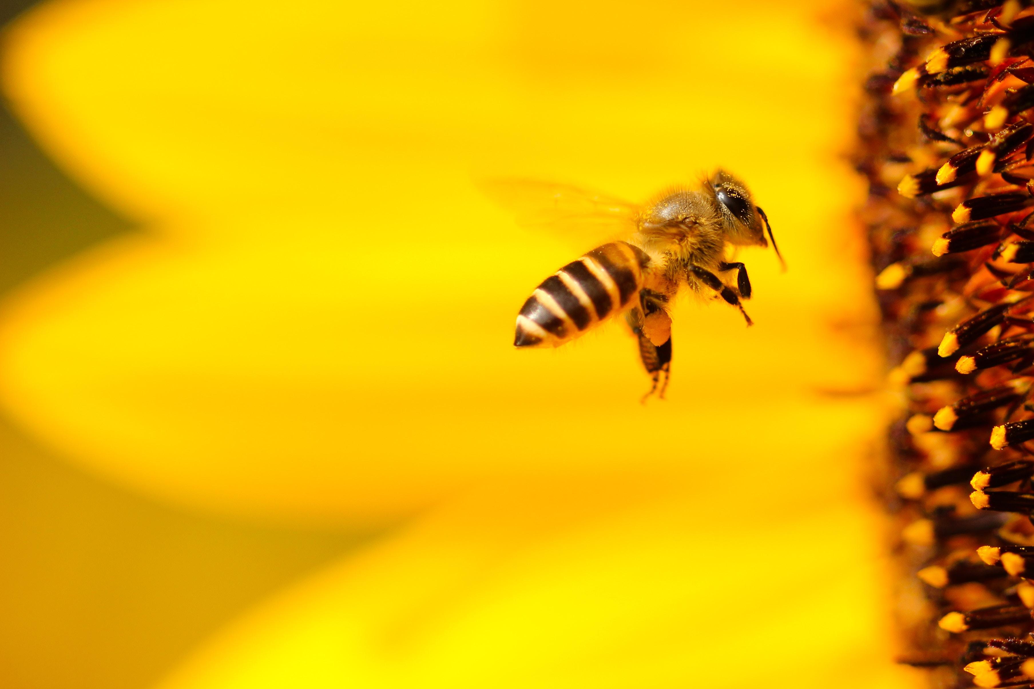 Bienenfreundlicher Balkon Bienesterben